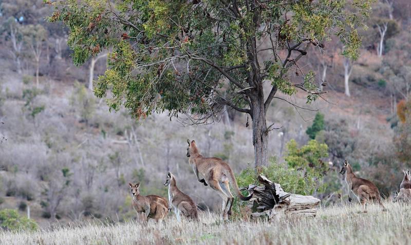 Где живут кенгуру фото