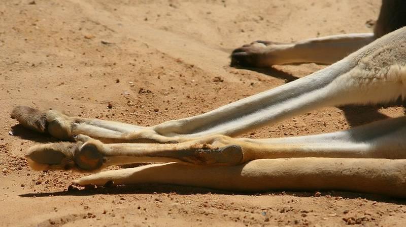 Задние лапы большого рыжего кенгуру фото (лат. Macropus rufus)