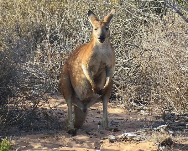 Обыкновенный валлару (горный кенгуру) фото (лат. Macropus robustus)