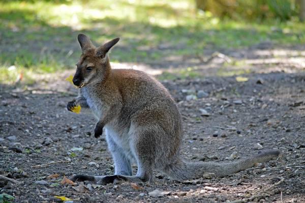 Пища кенгуру фото