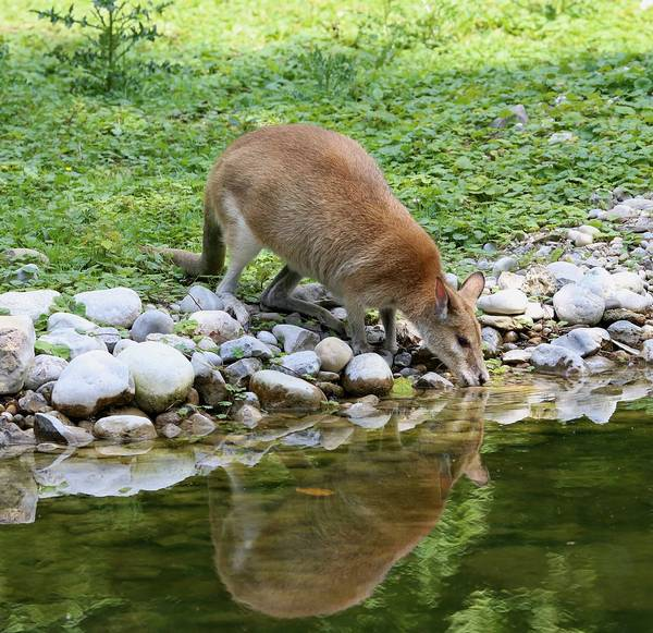 Прыткий валлаби пьет фото (лат. Macropus agilis)