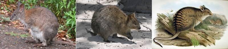 Самые маленькие кенгуру в мире фото