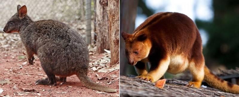 Тасманийский филандер (лат. Tasmanian pademelon) и кенгуру Гудфеллоу (лат. Dendrolagus goodfellowi) фото