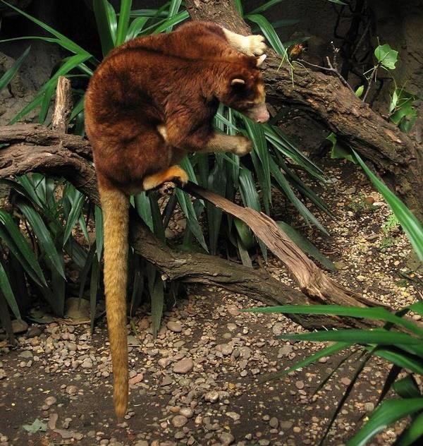 Хвост древесного кенгуру Матши фото (лат. Dendrolagus matschiei)