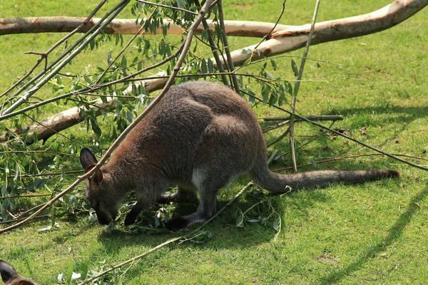 Чем питаются кенгуру фото