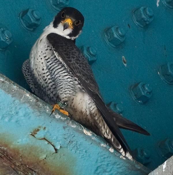 Алеутский сокол (черный сокол) фото (лат. Falco peregrinus pealei)