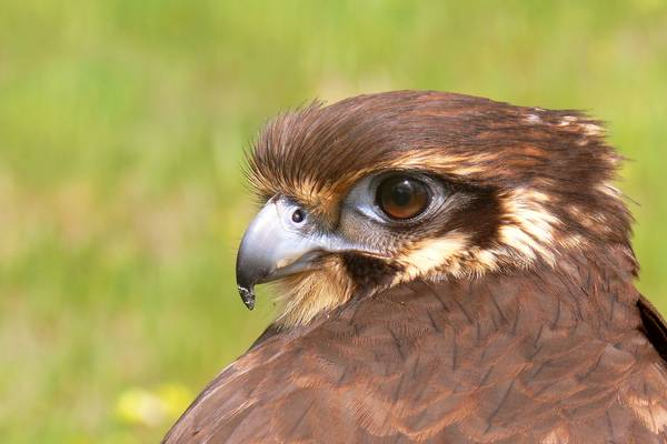 Голова бурого сокола фото (лат. Falco berigora)