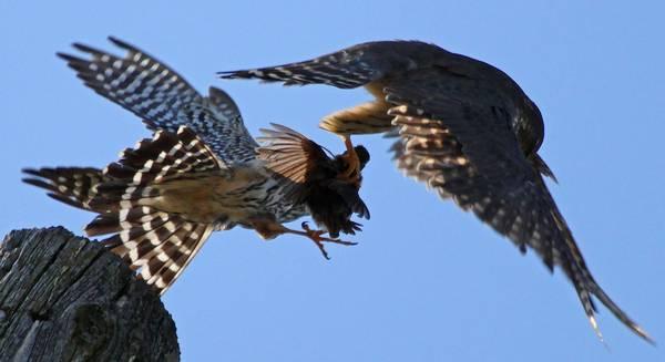 Дербники дерутся фото (лат. Falco columbarius)