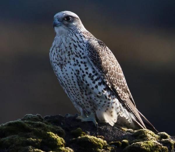 Кречет фото (лат. Falco rusticolus)