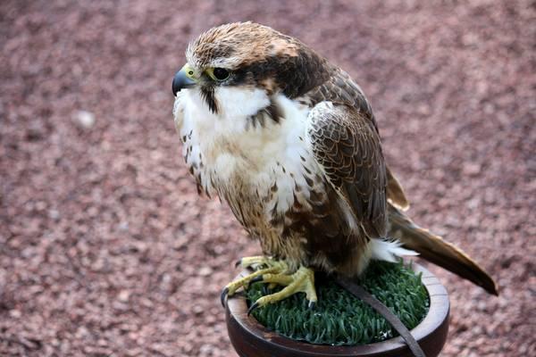 Лаггар фото (лат. Falco jugger)