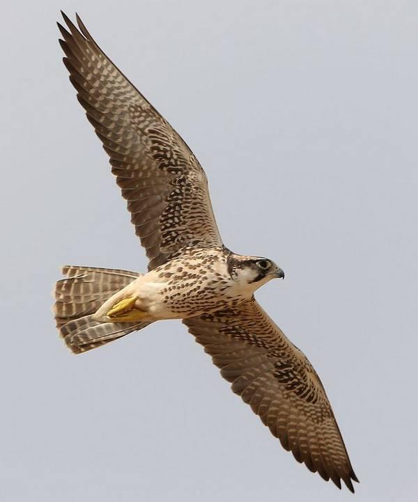 Средиземноморский сокол в полете фото (лат. Falco biarmicus)