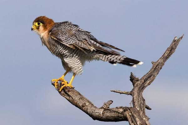 Турумти (турумди, турмути, красношейный сокол) фото (лат. Falco chicquera)