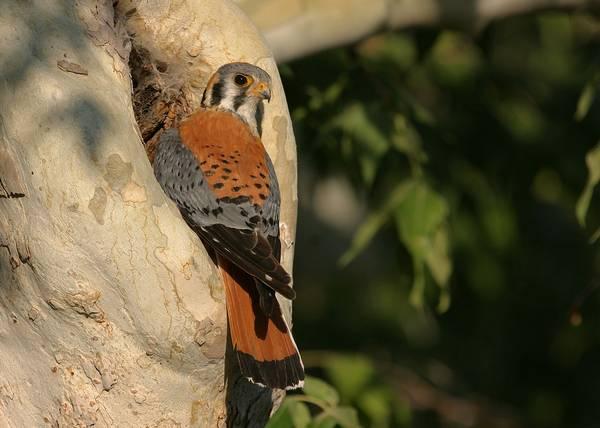 Хвост воробьиной пустельги фото (лат. Falco sparverius)
