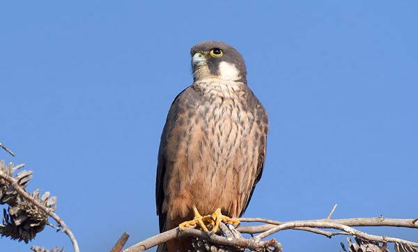 Чеглок Элеоноры (сокол Элеоноры, алет) фото (лат. Falco eleonorae)