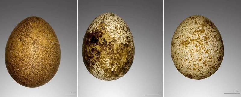 Яйца сокола фото