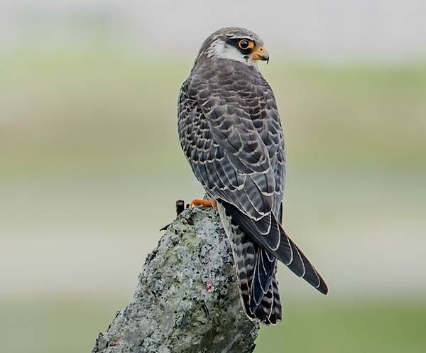 Амурский (восточный) кобчик фото (лат. Falco amurensis)