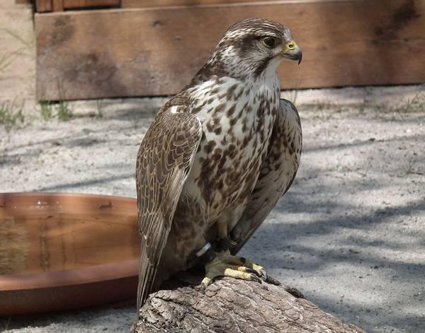 Балобан фото (лат. Falco cherrug)