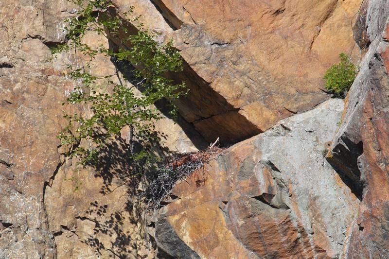 Гнездо алеутского (чёрного) сокола фото (лат. Falco peregrinus pealei)