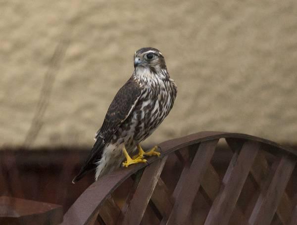 Дербник (дробник, дермлиг, дербничек, дербушок, кобец, соколок, мышатник) фото (лат. Falco columbarius)