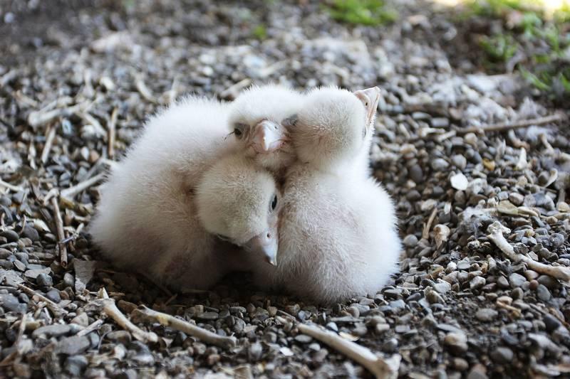 Детеныши сокола сапсана фото (лат. Falco peregrinus)