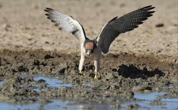 Крылья средиземноморского сокола фото (лат. Falco biarmicus)