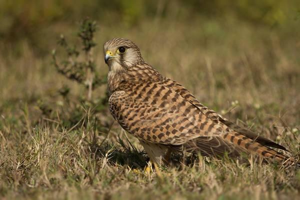 Обыкновенная пустельга фото (лат. Falco tinnunculus)