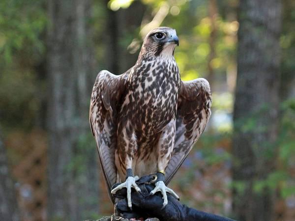 Охота с балобаном фото (лат. Falco cherrug)