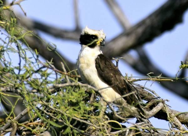 Смеющийся сокол птица фото (лат. Herpetotheres cachinnans)