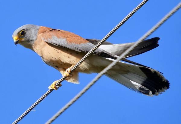 Степная пустельга фото (лат. Falco naumanni)