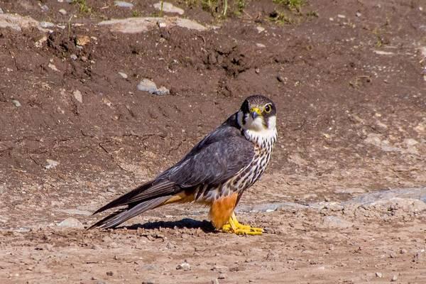 Чеглок фото (лат. Falco subbuteo)