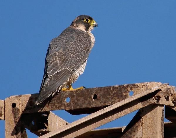 Шахин (рыжеголовый сапсан, рыжеголовый сокол, пустынный сокол) (лат. Falco pelegrinoides)