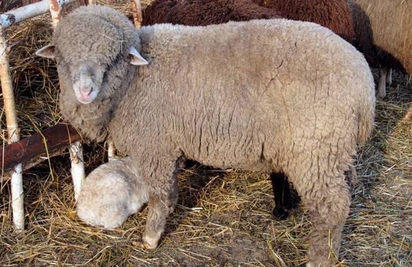 Алтайская порода овец фото