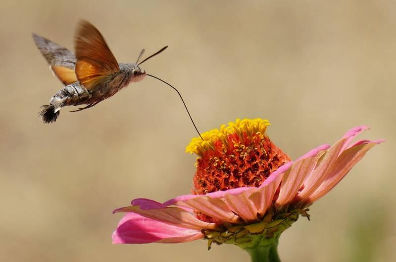 Бабочка языкан обыкновенный в полете фото (лат. Macroglossum stellatarum)