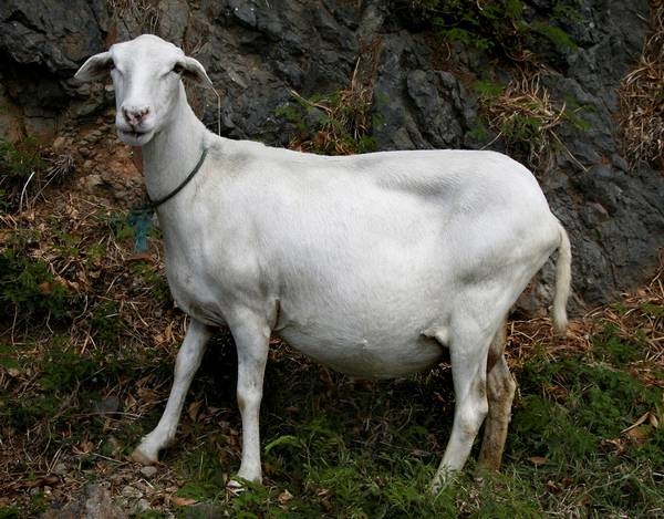 Беременная овца фото