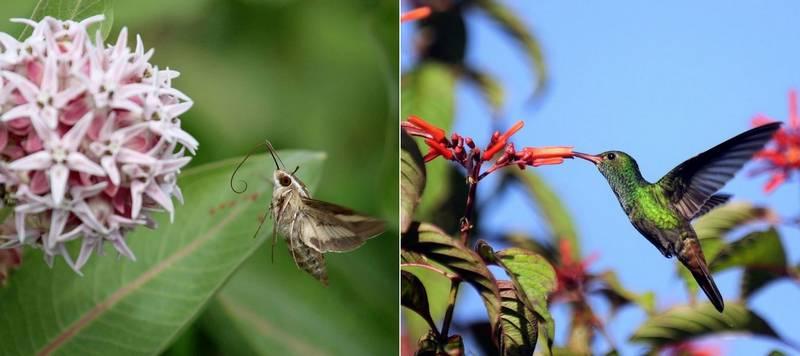 Бражник и колибри фото