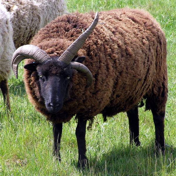 Гебридская овца с тремя рогами фото (лат. Ovis aries)