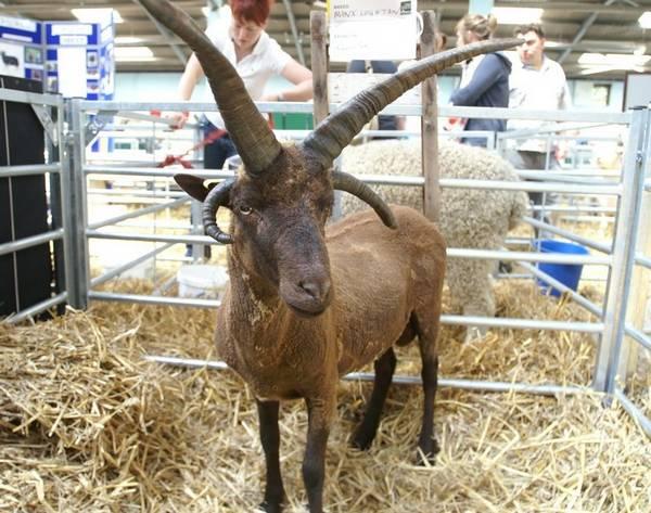Гебридская овца с четырьмя рогами фото (лат. Ovis aries)