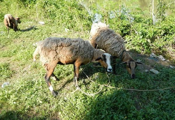 Гибрид овцы и козы (базл) фото