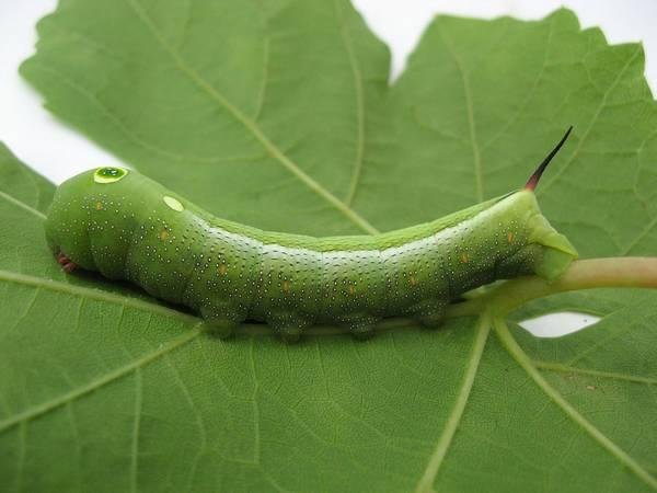 Гусеница большого винного бражника фото (лат. Hippotion celerio)