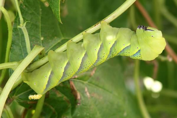 Гусеница бражника мертвая голова фото (лат. Acherontia atropos)