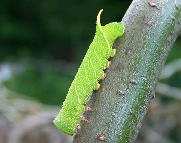 Гусеница бражника тополевого фото (лат. Laothoe populi)