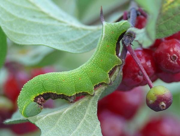 Гусеница жимолостной шмелевидки фото (лат. Hemaris fuciformis)
