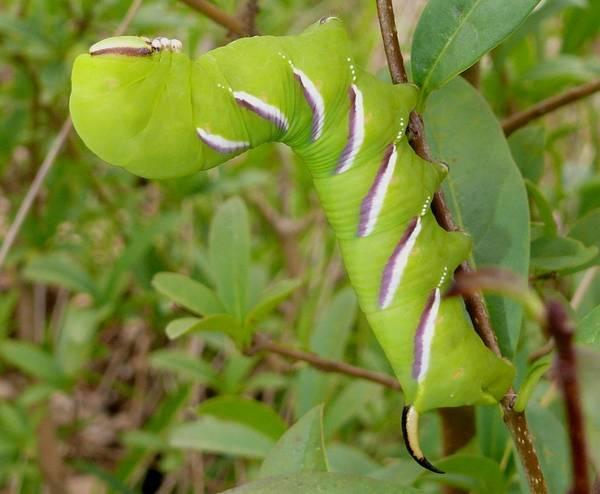 Гусеница сиреневого бражника фото (лат. Sphinx ligustri)