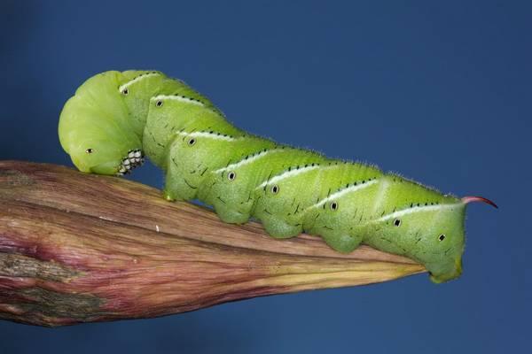 Гусеница табачного бражника фото (лат. Manduca sexta)
