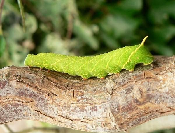Гусеница тополевого бражника фото (лат. Laothoe populi)