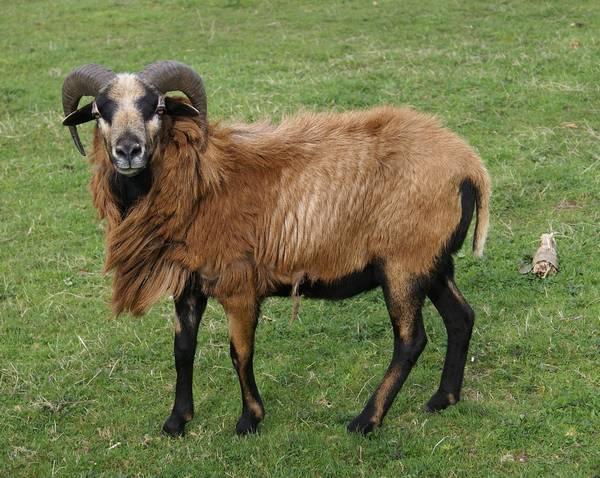 Камерунская порода овец фото (лат. Ovis aries)