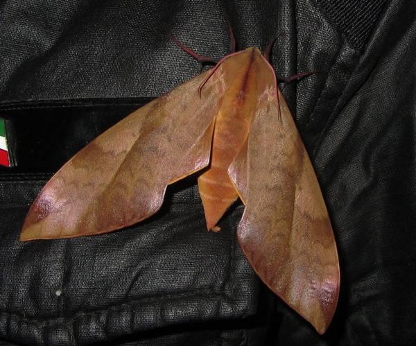 Кланис волнистый фото (лат. Clanis undulosa)