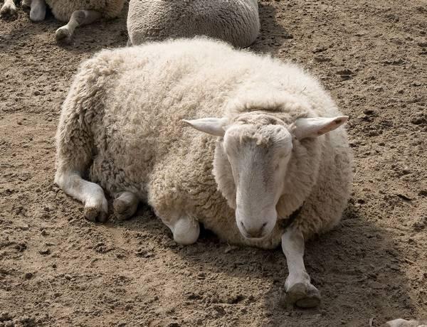 Копыта овцы фото (лат. Ovis aries)
