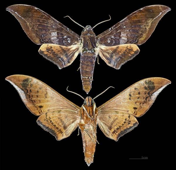 Крылья бражника Ambulyx bakeri фото