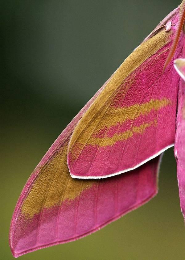 Крылья винного бражника фото (лат. Deilephila elpenor)